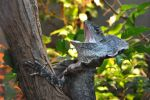 Frilled lizard by SmillaW