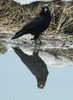 Crow Reflection by SlateGray