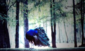Peacock Posed In Abstract by aPatchworkProduction