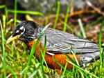 Robin in the Grass HDR by JamesInDigital