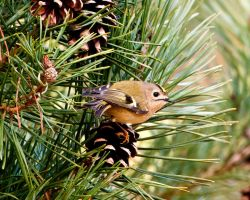 Goldcrest 1a by pixellence2