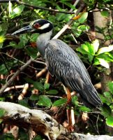 Yellow Crowned Night Heron by flowerhippie22