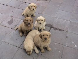 golden retriever puppies by pervertkiba