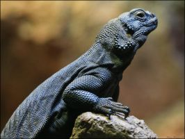 Chuckwalla by mydigitalmind