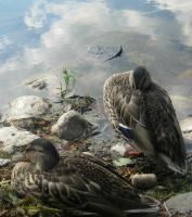 ducks 2 by greeneyes5