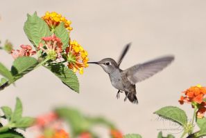 Hummingbird by MichelleRamey