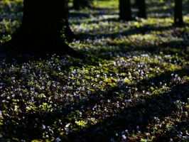 hepatica forest by mescamesh