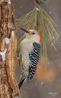 Red bellied Wood pecker fem by DGAnder