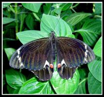 Orchard Swallowtail Butterfly by BreeSpawn