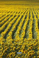 Sunflower Field, SD, 08/2/2013 6:14PM A by Crigger