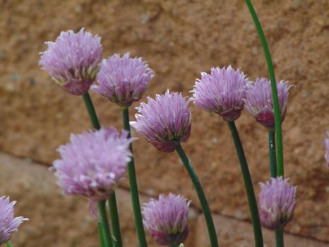 Purple Chives  004 by amethystmstock