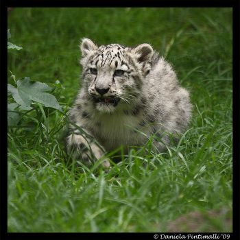 Baby Snow Leopard: Stalk by TVD-Photography