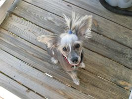 Chinese Crested Stock 1 by Zanowin