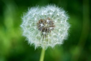 Dandelion by fastidious-cat