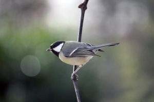 Great Tit by CrAz86