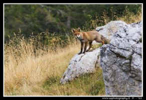 Fox on Asiago plateau by zaffonato