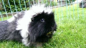 GuineaPic 128 by SimplePlan007