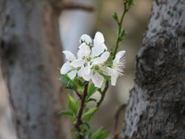 white plum flowers 2 by melloncolliebaby