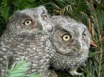 Western Screech Owl Siblings 1 by Ciameth
