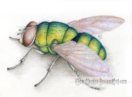 Fly (Insect) - Colored Pencils by Claw-Markes