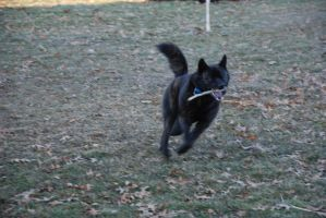Black Dog Running Stock 1 by lee-mare