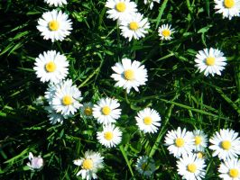 Field of daisies by PhotographicJaydiee