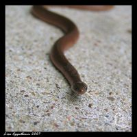 Little Slither by Cillana