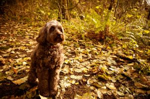 Leilani The Labradoodle by OEMminus