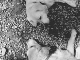 tired goldens by alexxinlove