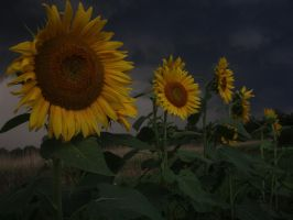 Sunflowers shine in storms by EdenUnderFallout