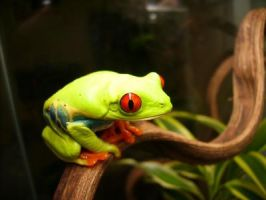 My red eye tree frog. by robot607