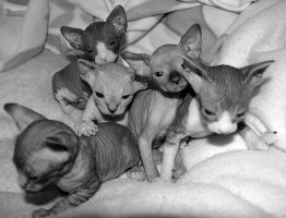 Sphynx Kittens - 01 by xx-trigrhappy-xx