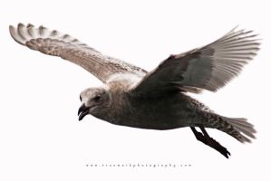 Seagull 05 by andras120
