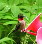 Ruby-throated Hummingbird by JocelyneR