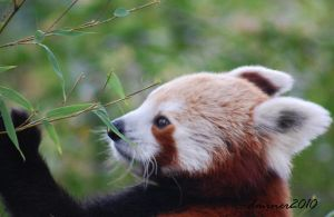 Hungry Red Panda 2 by DanielleMiner