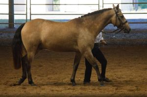 STOCK - 2014 Andalusian Nationals-5 by fillyrox