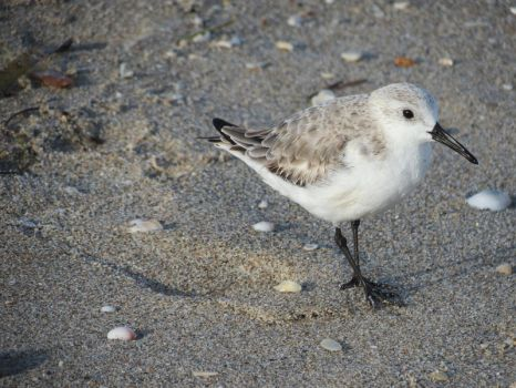 Adorable Little Sanderling by chainedheart977