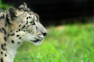 snow leopard 2010 by scoot75