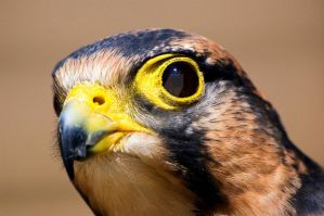 Falcon portrait by Merlin-Nicon