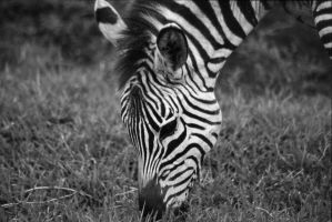 Zebra Black and White by JAHphoto