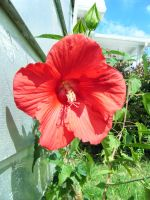 Red Hibiscus by NutellaNinja