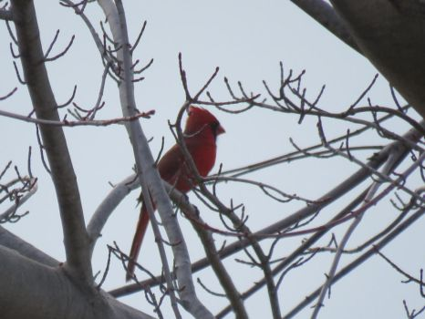 Cardinal In The Maple Tree by Meeshellz41