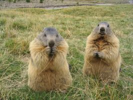Wild animal stock 99 -marmots by Momotte2stocks