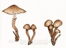 Shaggy Pholiota Toadstools by WildWoodArtsCo