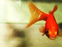 My favortie goldfish by damant15