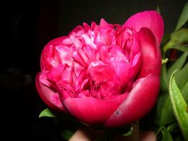 peony768 by firefreezeall