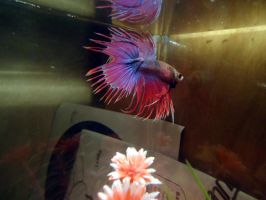Fancy Tricolor - Betta Rainbow by UltraRodimus