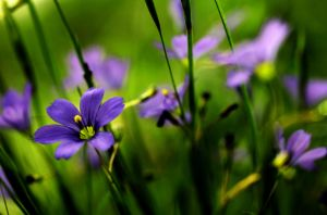 Blue-eyed grass by BigBlueSkyFotos
