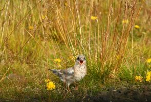 Arctic Tern chick 1: MOM! by ragnaice