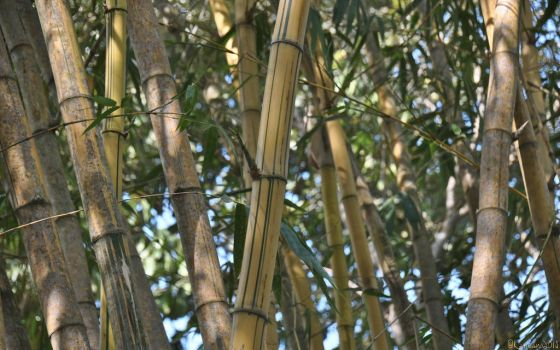 The Legend of the Yellow Bamboo by Kancano